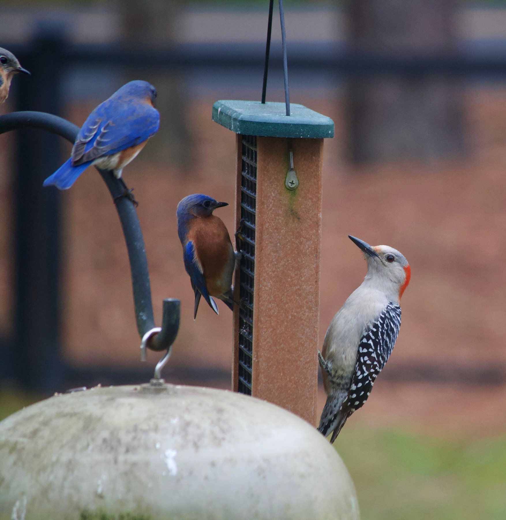 Closeup of a bird feeder. On the feeder are Blue birds and a Red-Bellied woodpecker.