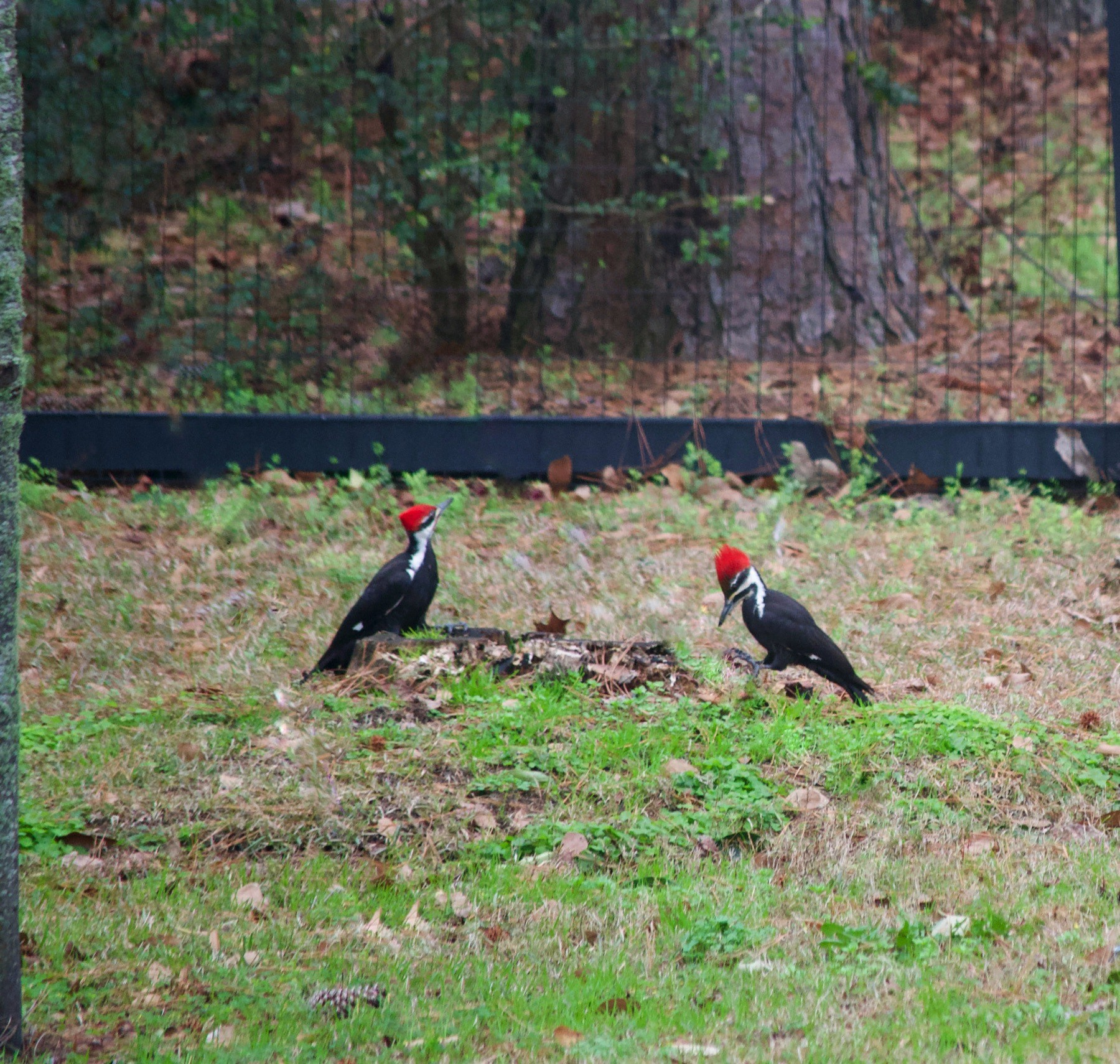 Two Pileated woodpeckers in the distance eating on a tree stump on the ground..